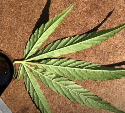 hemp leaf under microscope in lab