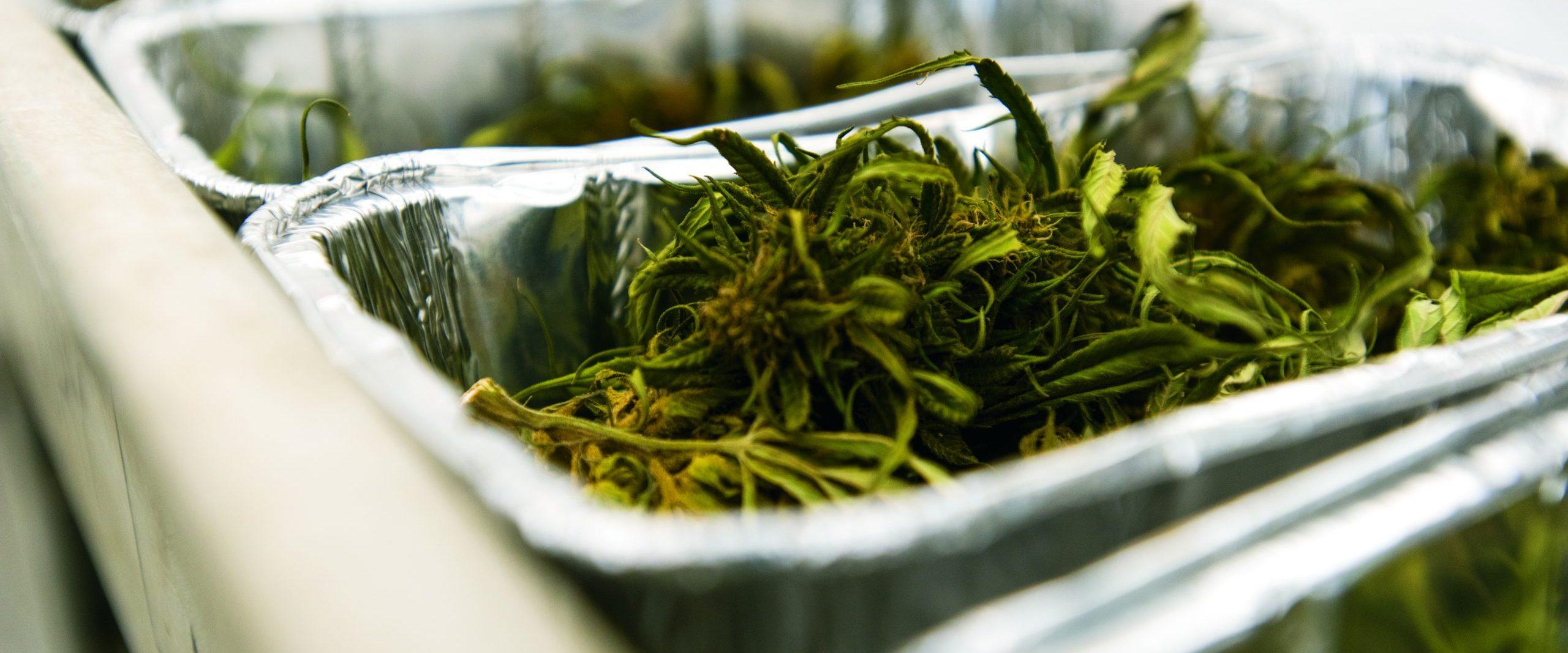 Hemp plants in trays