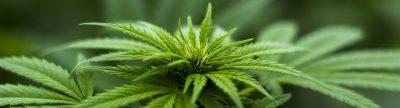 Close up of cannabis